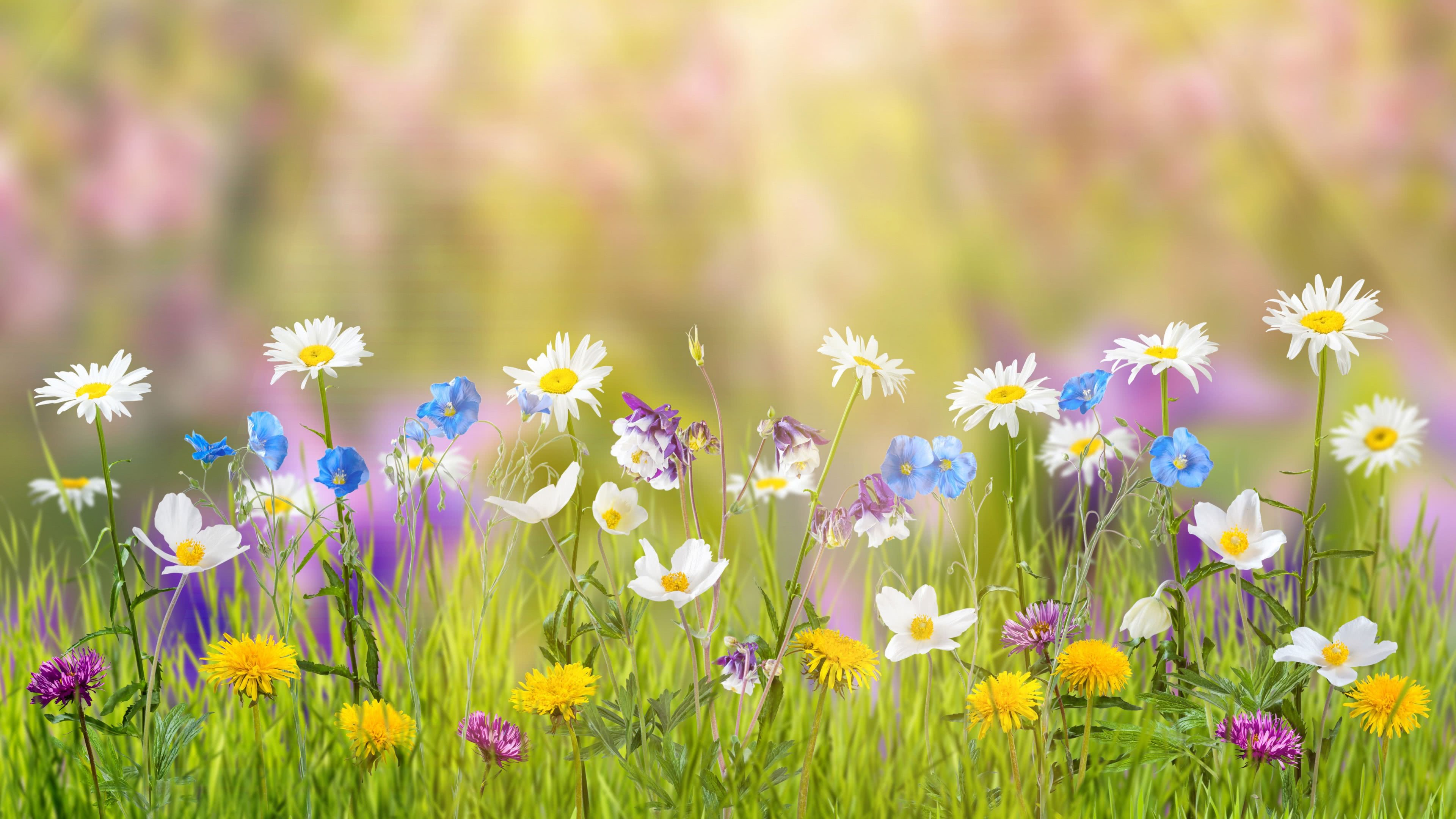 daisies and dandelions uhd 4k wallpaper