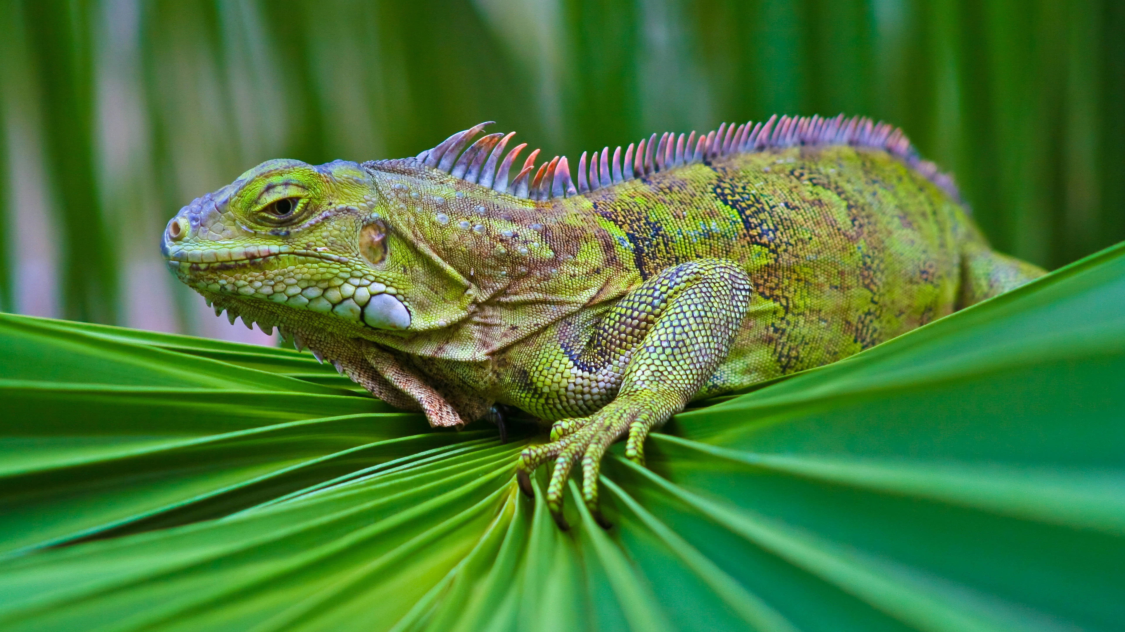iguana green on leaf uhd 4k wallpaper