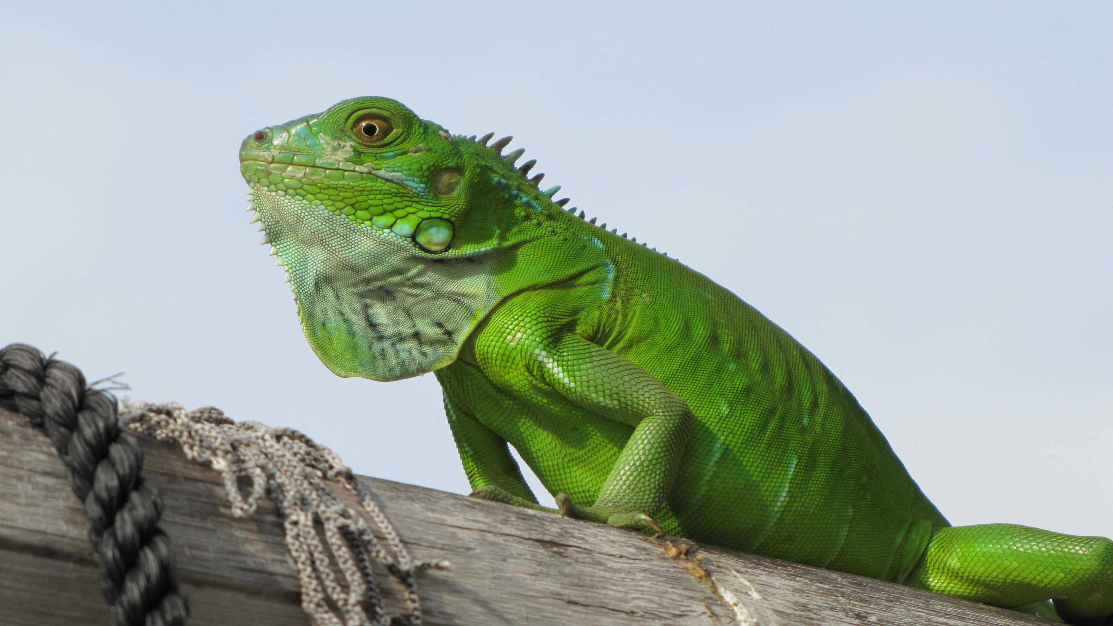 iguana green uhd 4k wallpaper