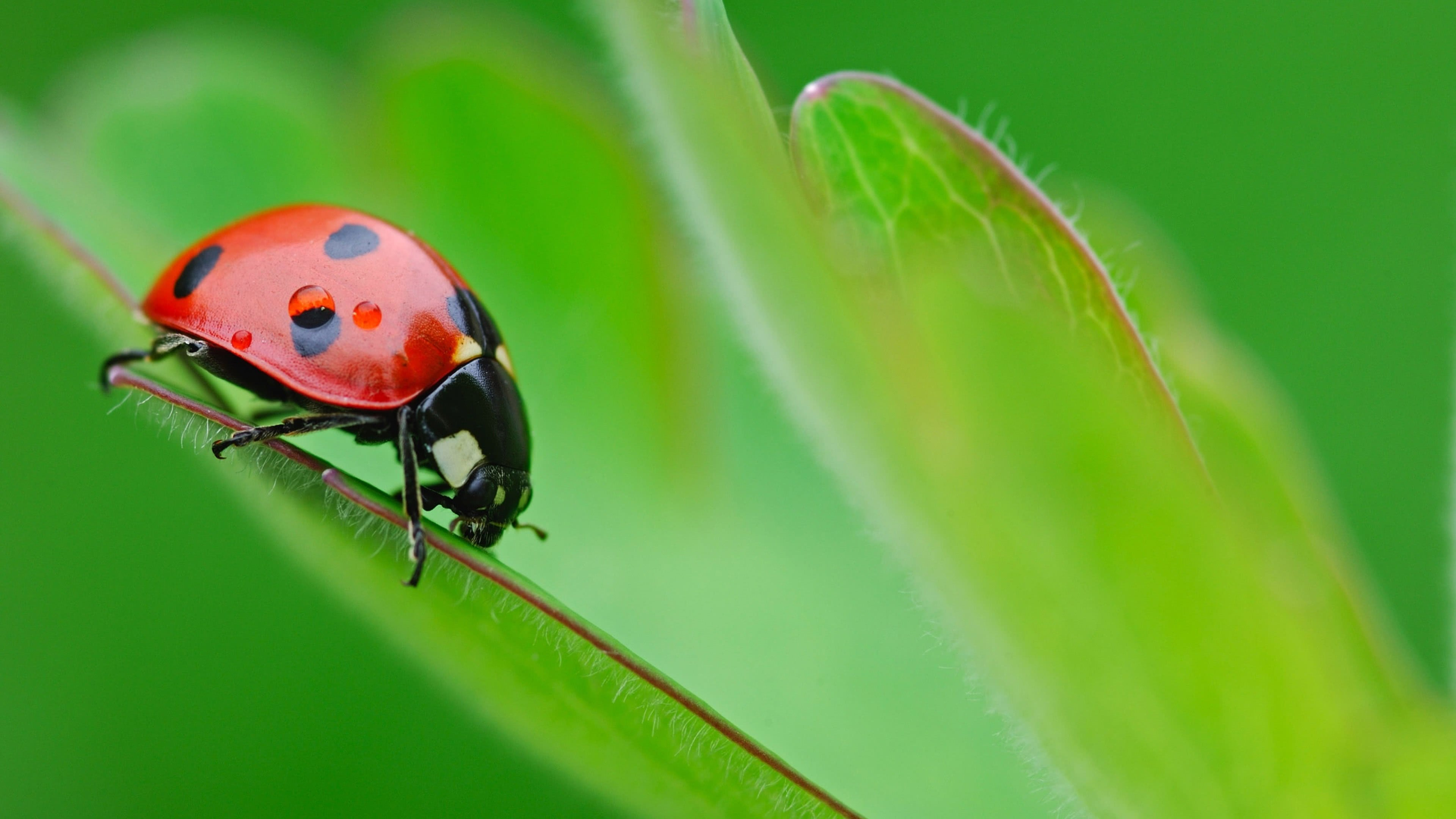 ladybug uhd 4k wallpaper