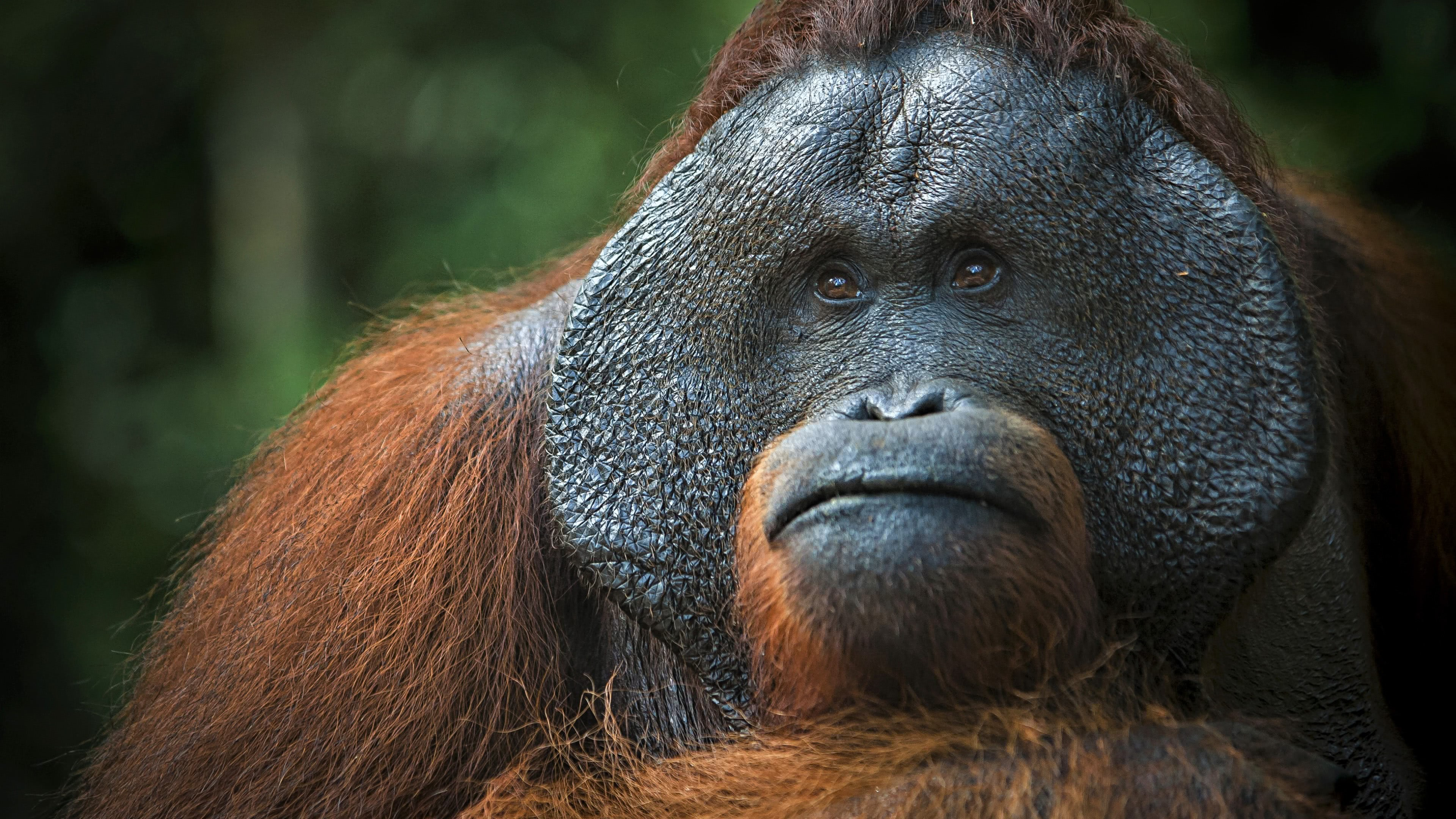 orangutan uhd 4k wallpaper