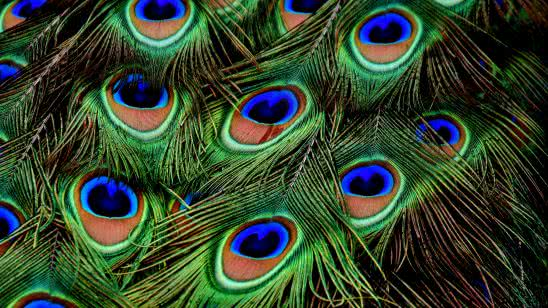 peacock feathers uhd 4k wallpaper