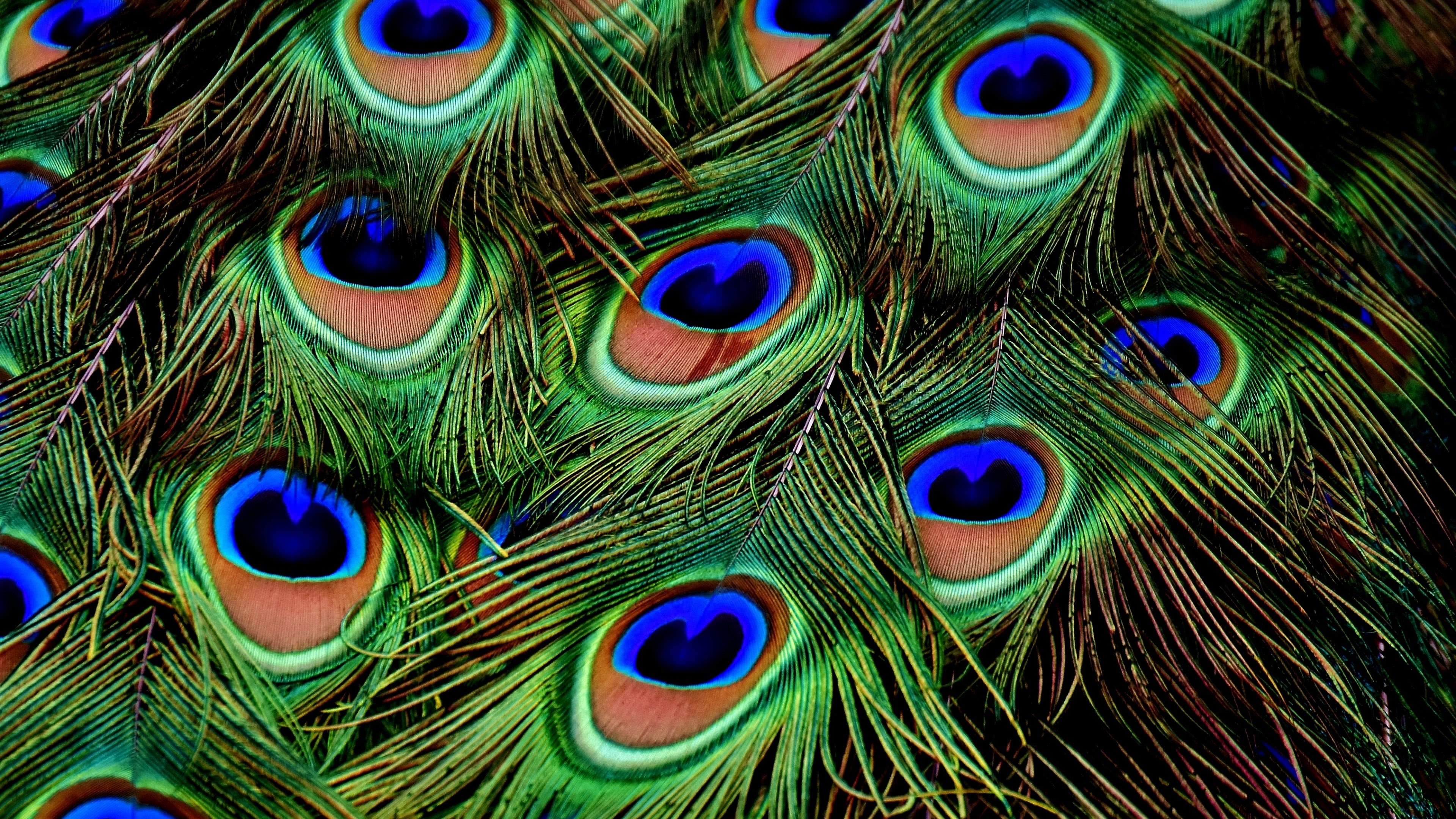 peacock feathers uhd 4k wallpaper
