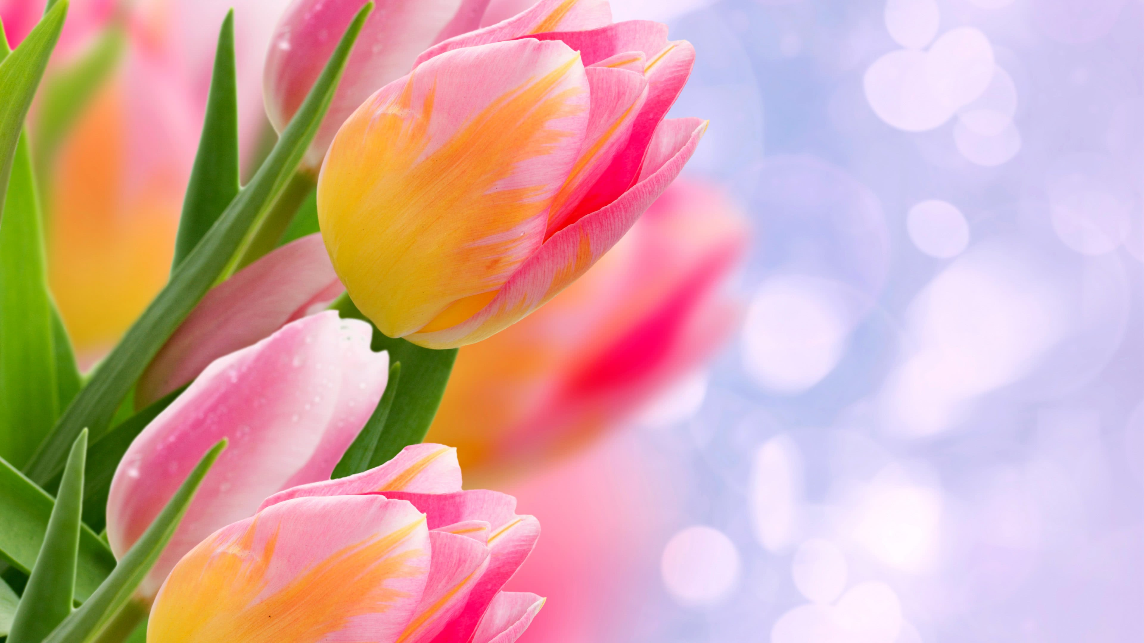 tulips pink and yellow uhd 4k wallpaper