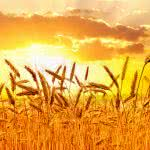 "<span itemprop=""name"">Wheat Sunset</span>"