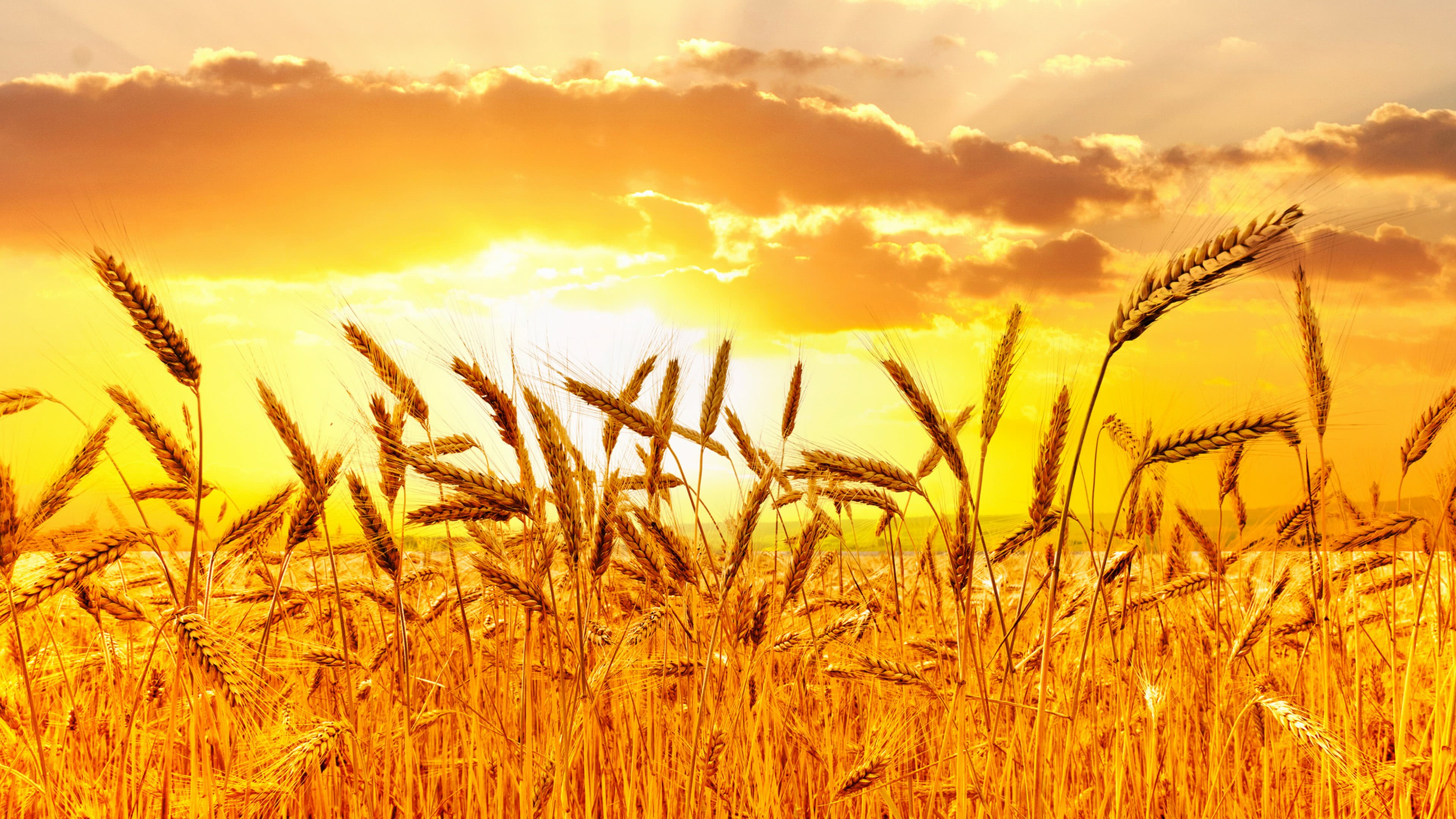 wheat sunset uhd 4k wallpaper