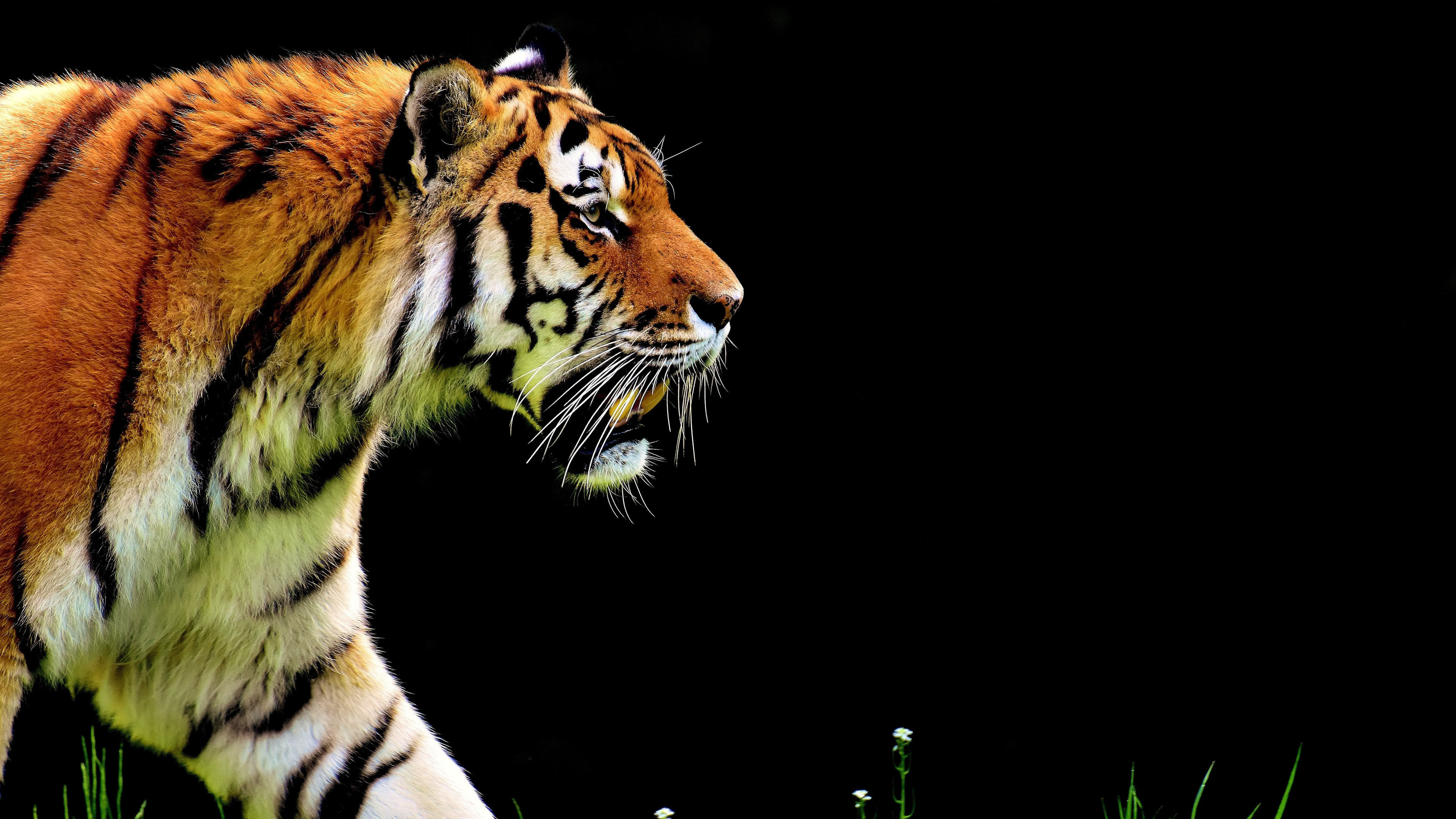 Bengal Tiger Uhd 4k Wallpaper Pixelz Cc