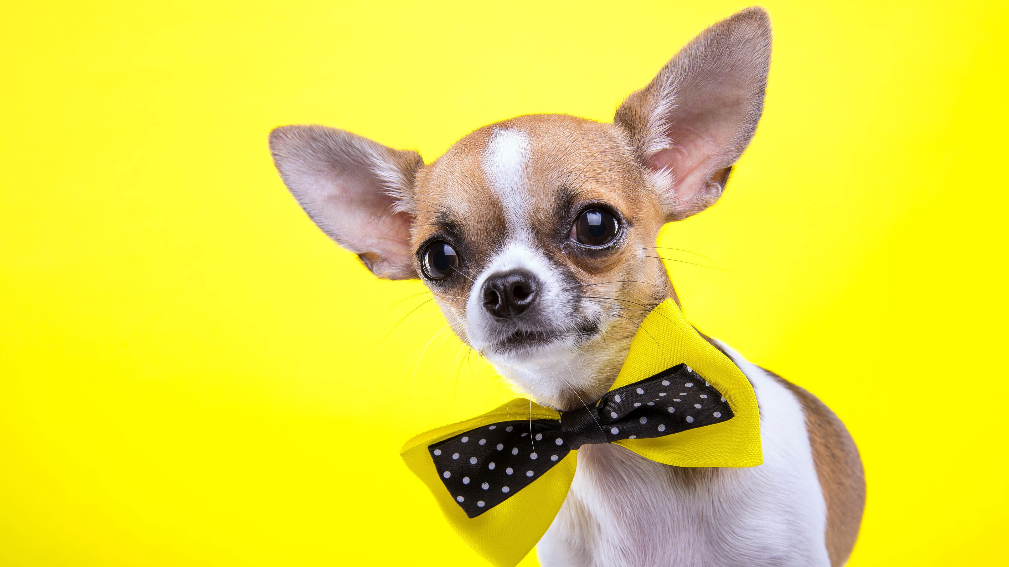 chihuahua bow tie uhd 4k wallpaper