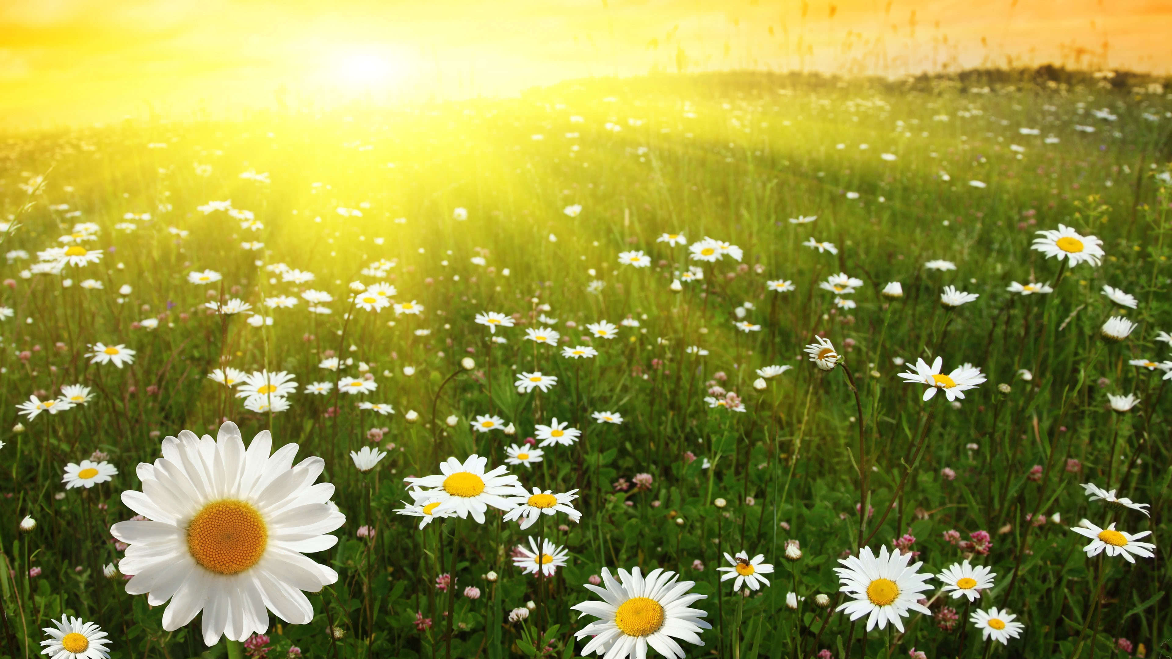 daisies sunny field uhd 4k wallpaper