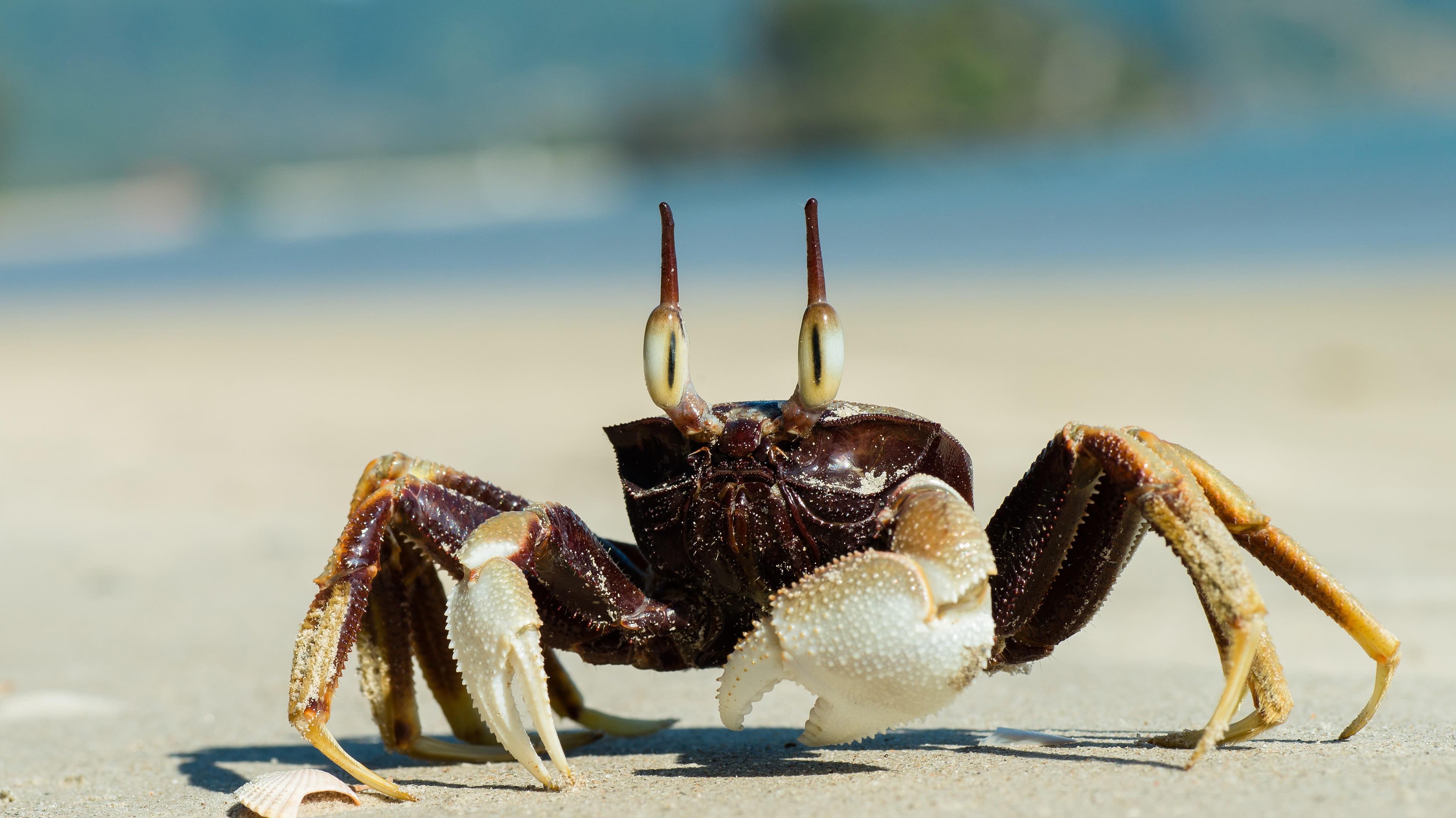 ghost crab uhd 4k wallpaper