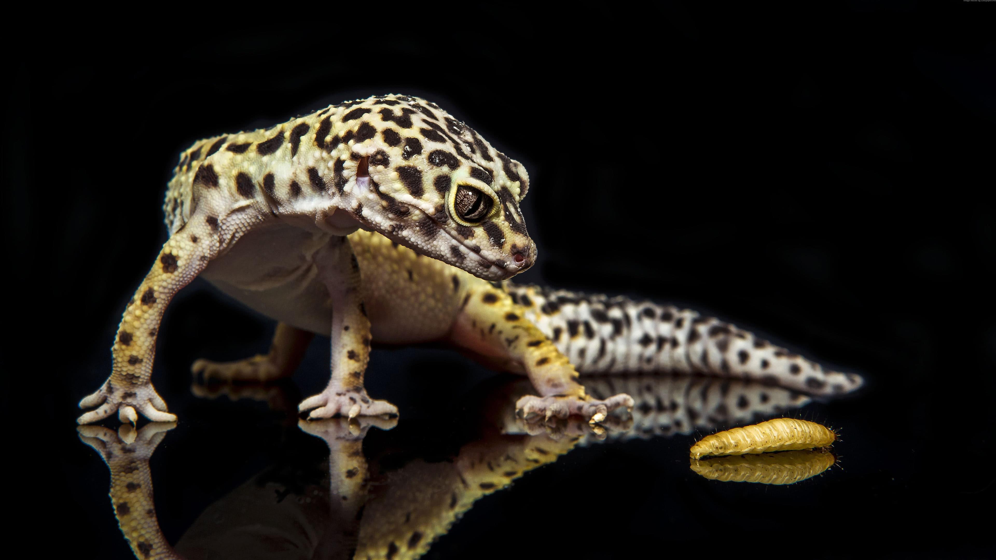 leopard gecko uhd 4k wallpaper