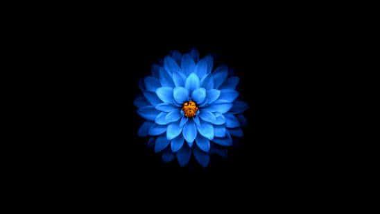lotus blue uhd 4k wallpaper