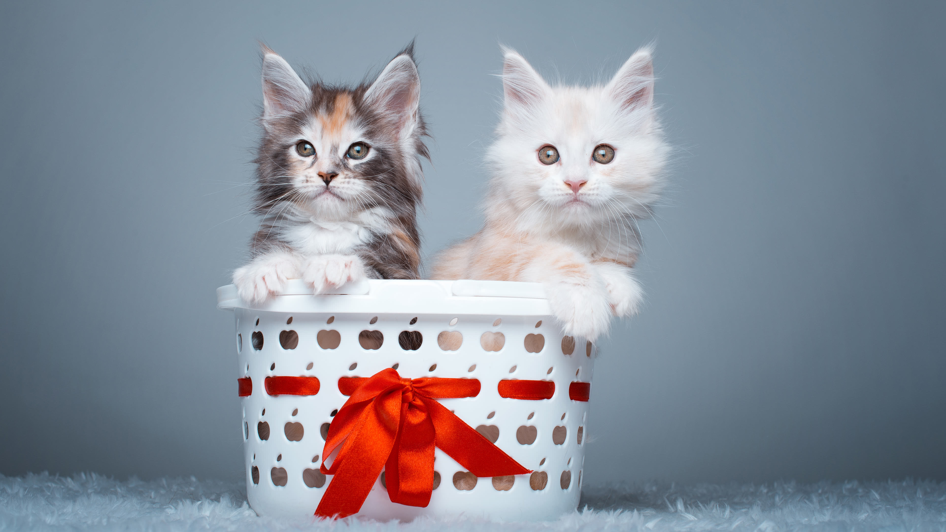 maine coon kittens uhd 4k wallpaper