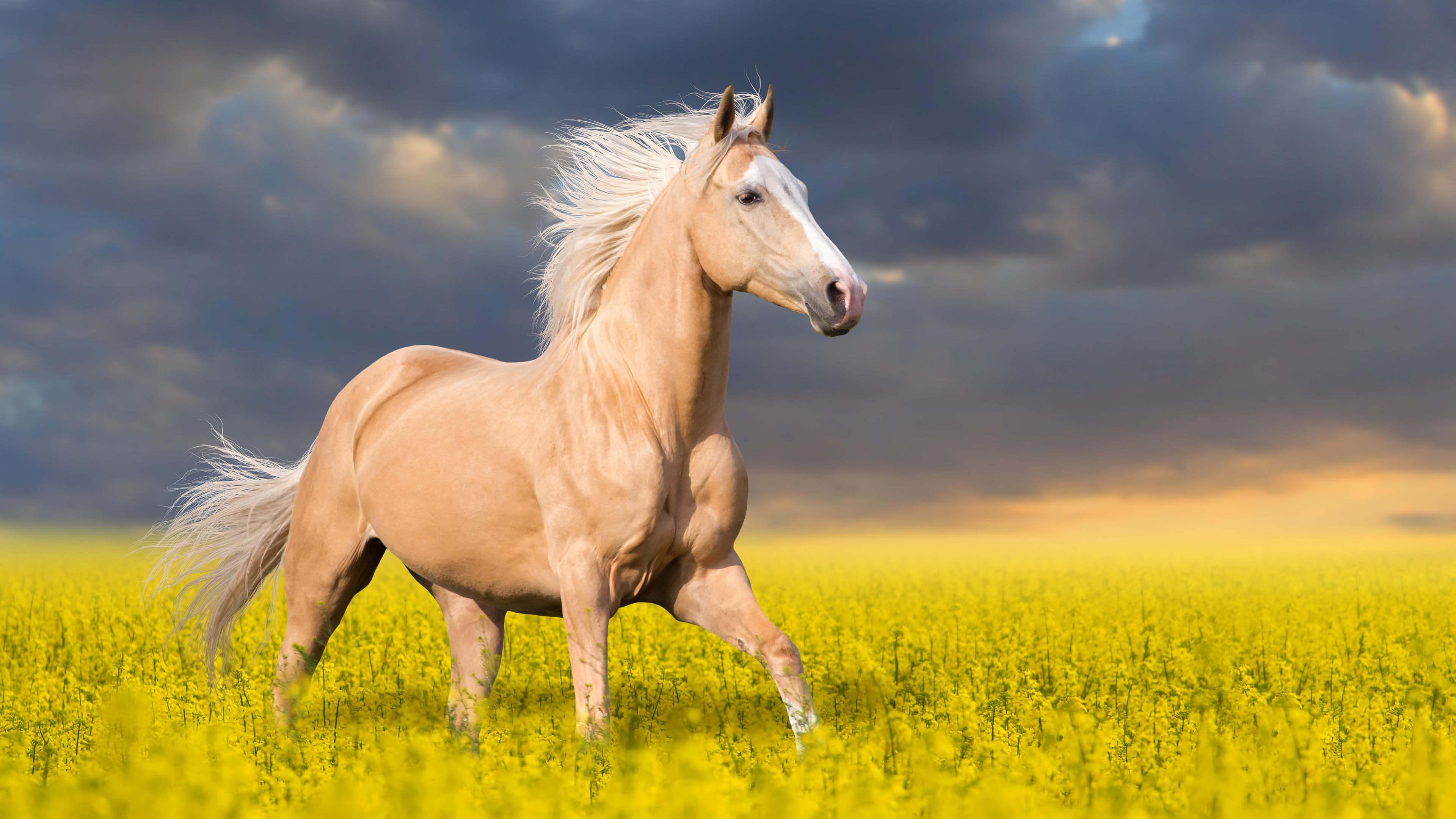 palomino horse uhd 4k wallpaper