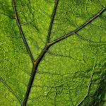 Plant Veins Leaf Macro