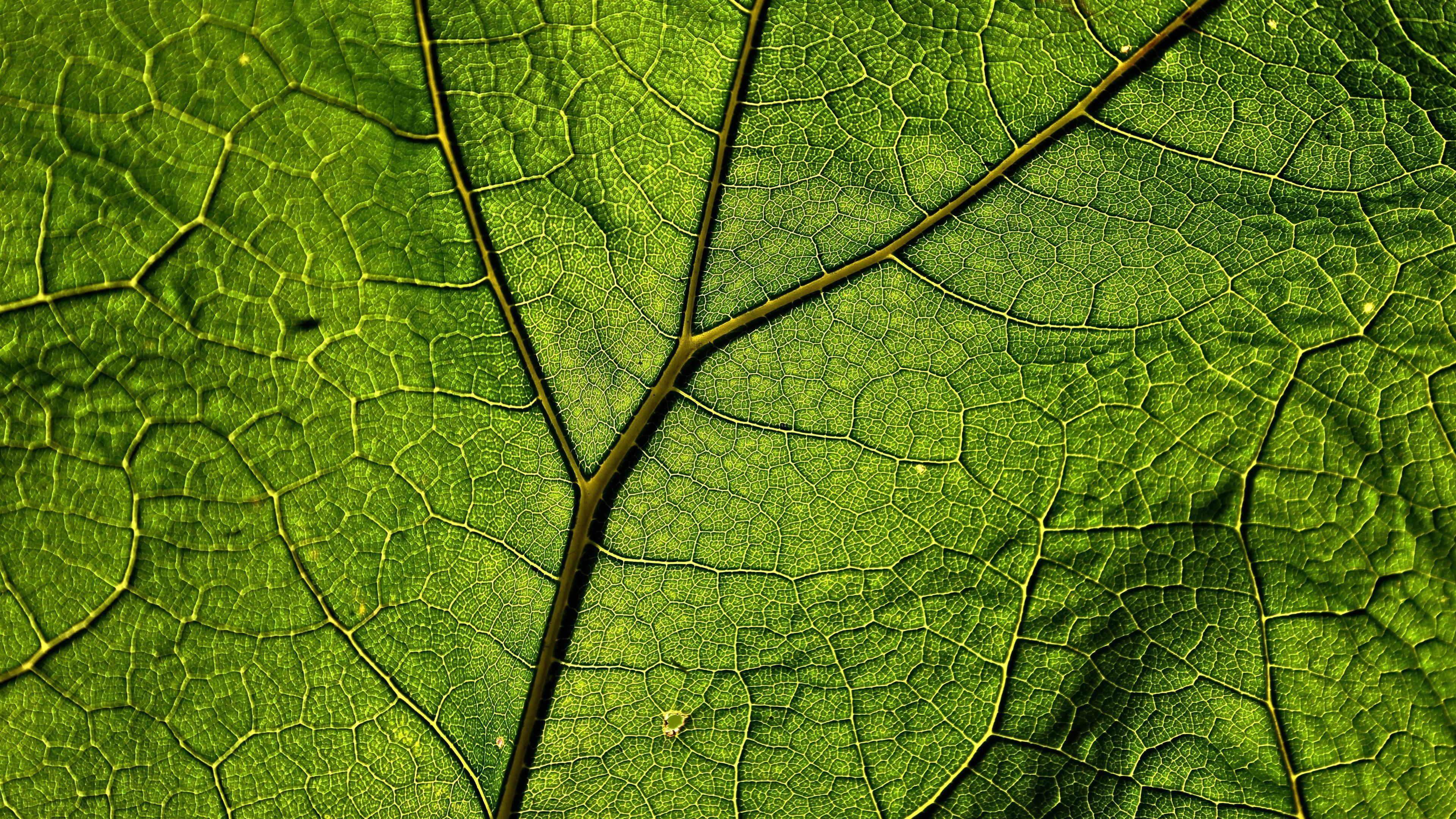 Plant Veins Leaf Macro Uhd 4k Wallpaper Pixelz