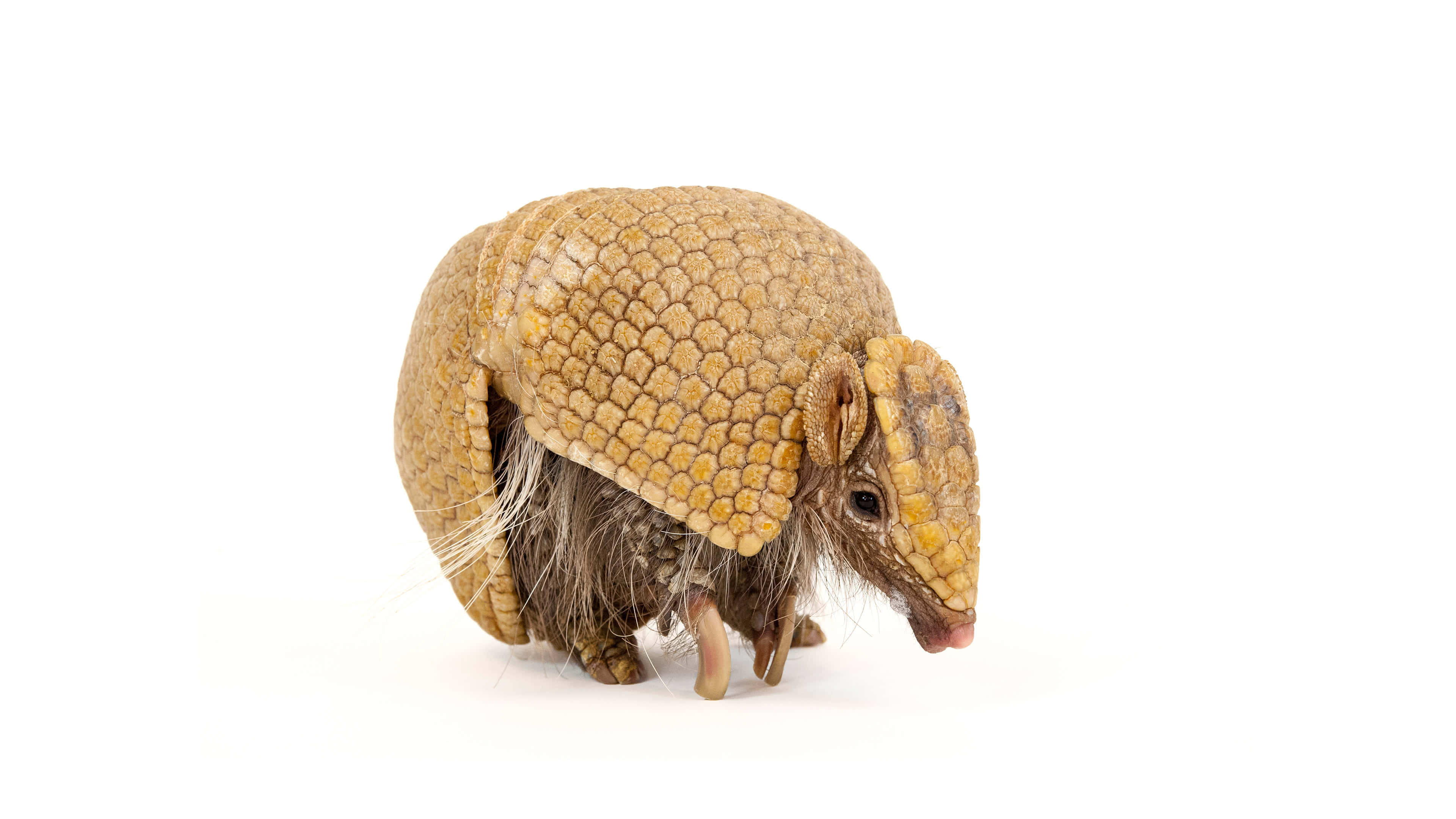southern three banded armadillo uhd 4k wallpaper
