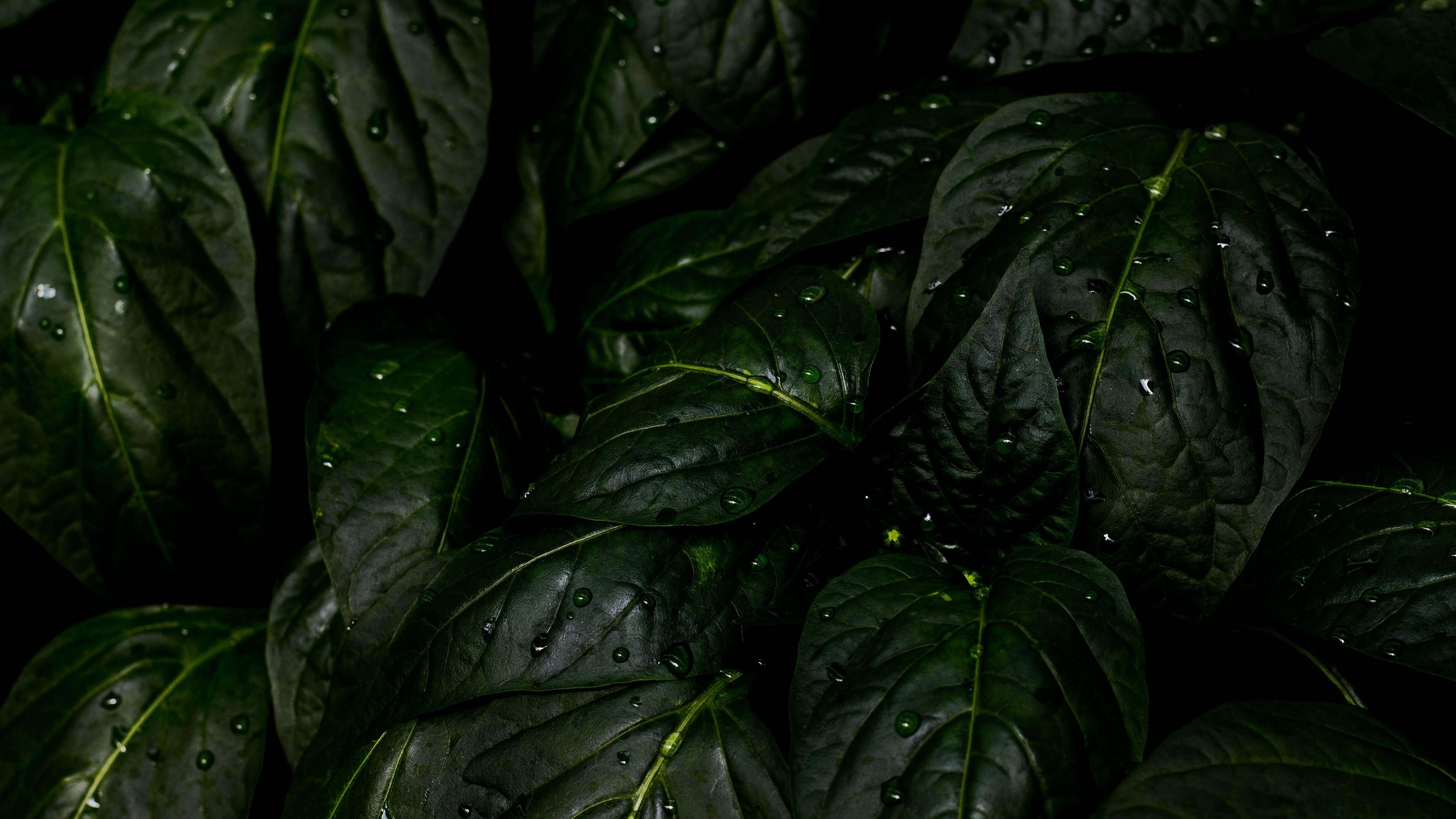 rain drops leaves uhd 4k wallpaper