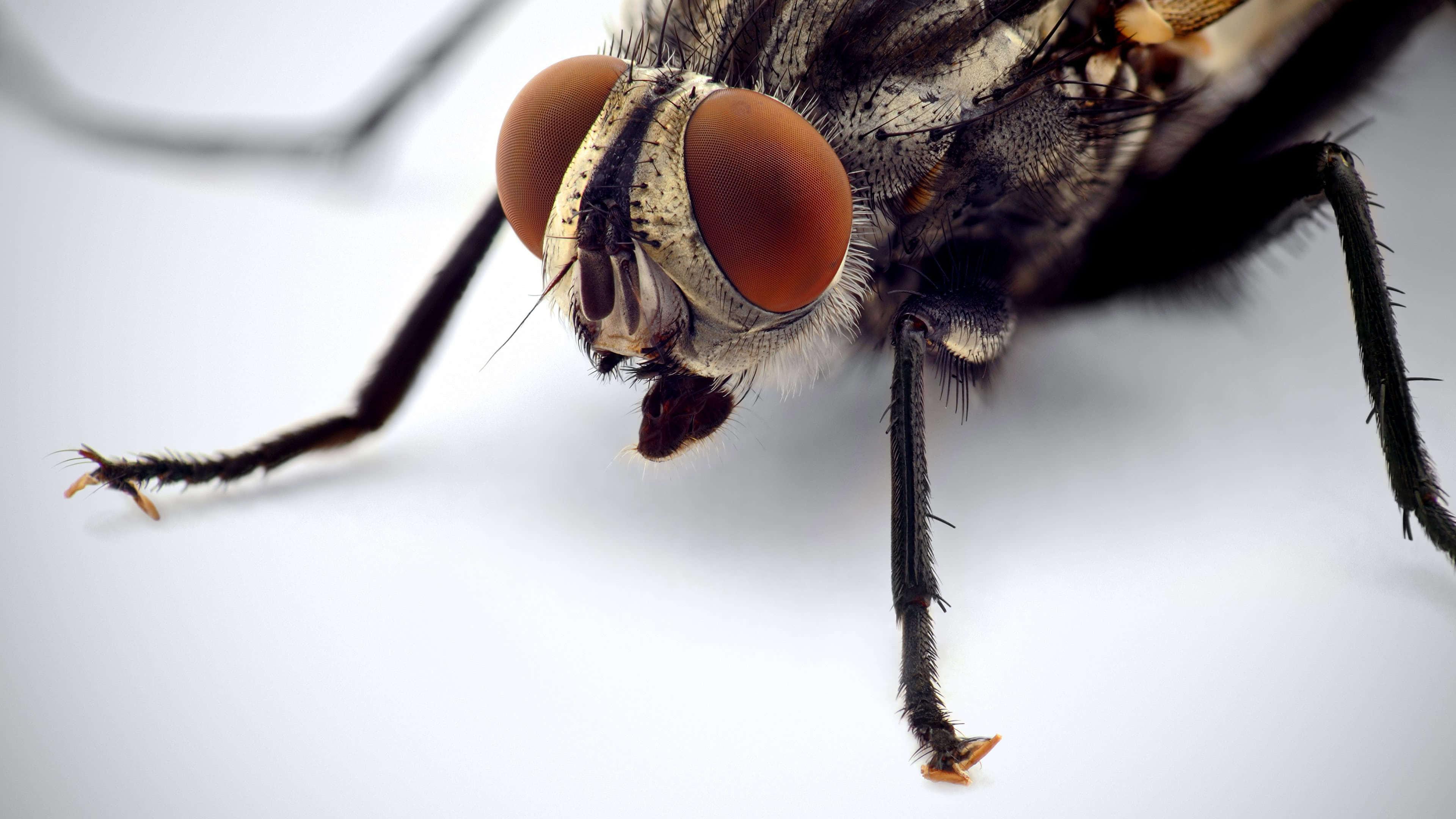 fly macro uhd 4k wallpaper