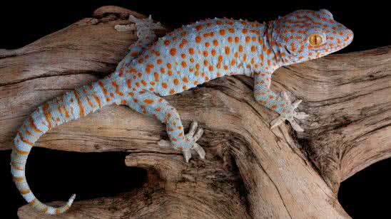 tokay gecko uhd 4k wallpaper