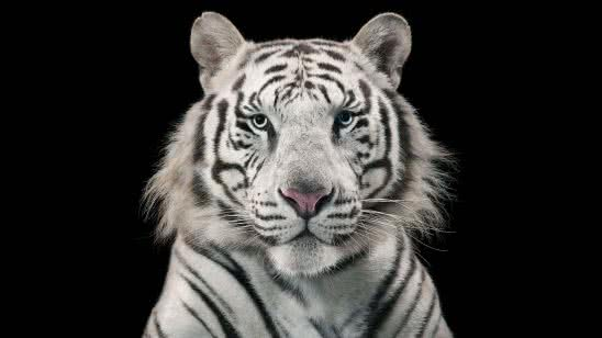 bengal tiger white wqhd 1440p wallpaper