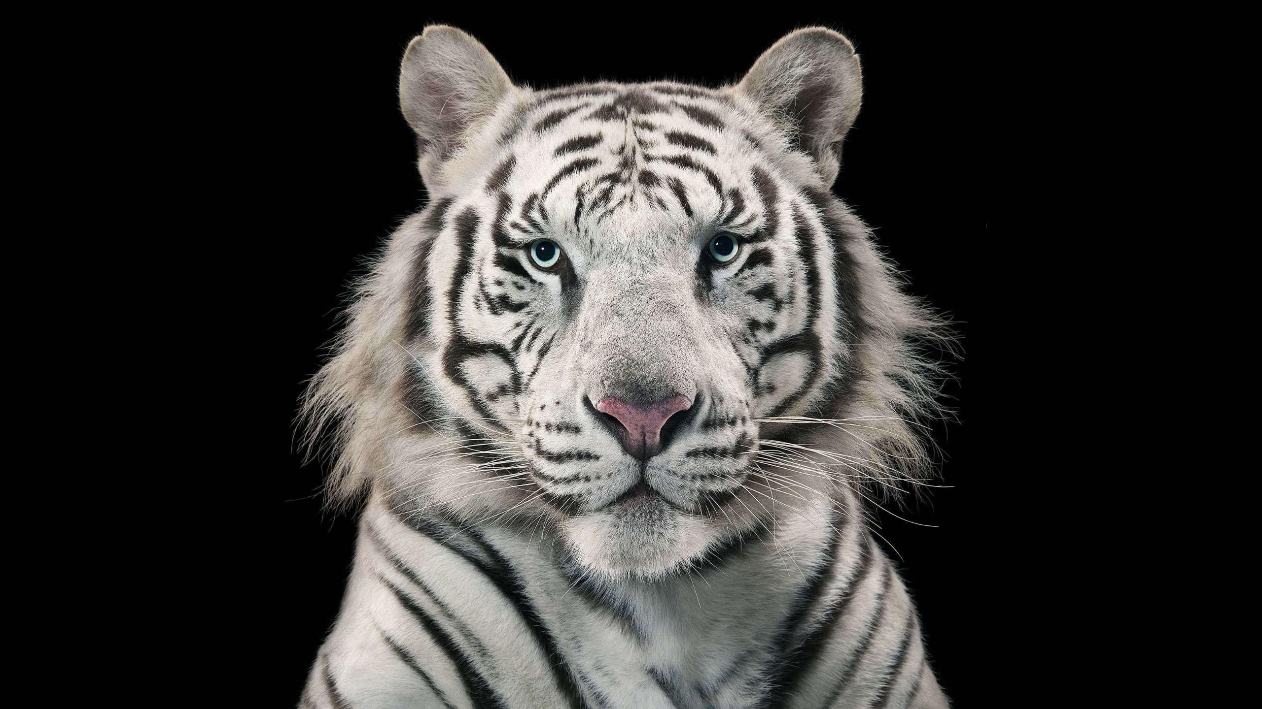 bengal tiger white wqhd 1440p wallpaper