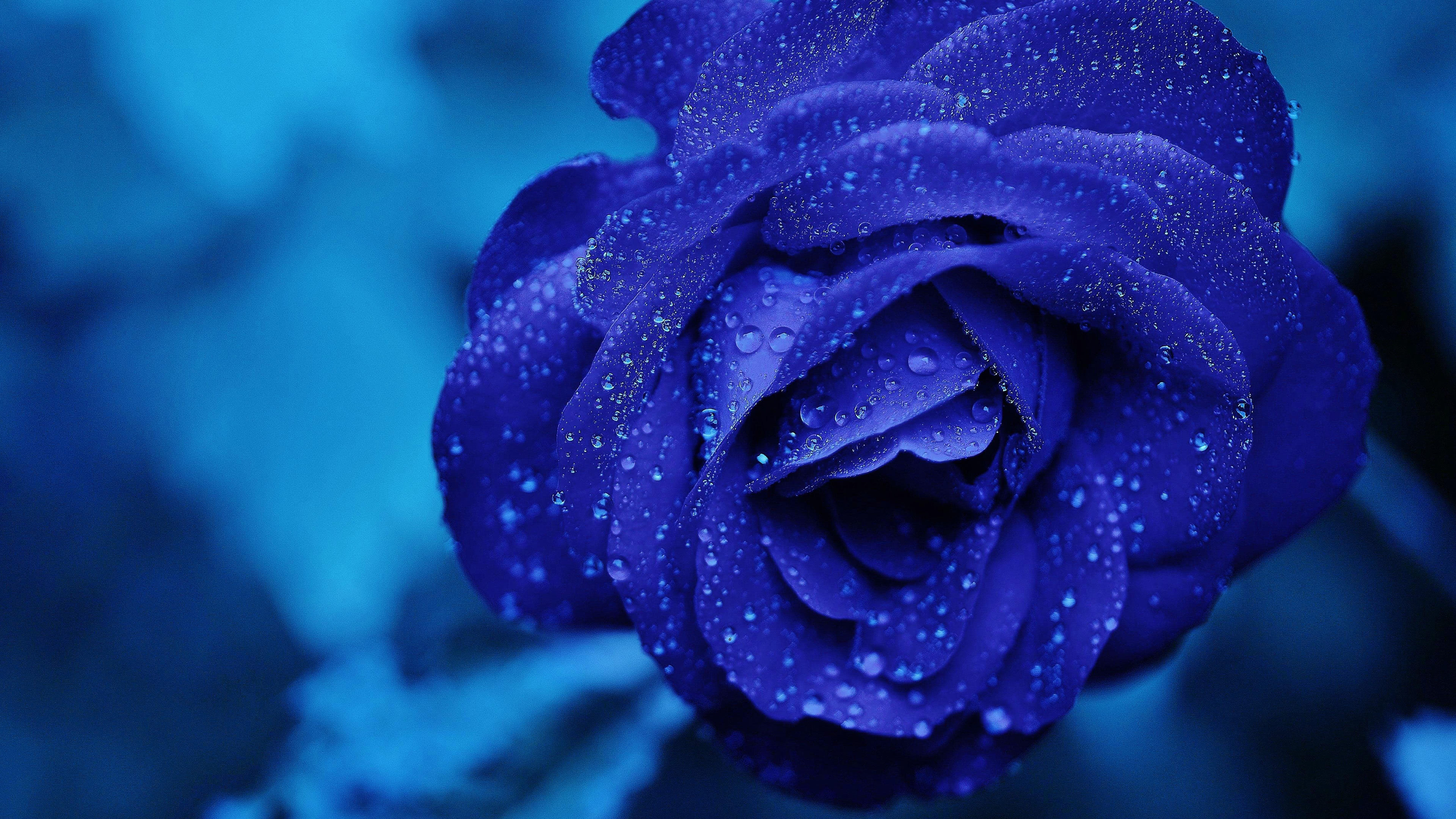 blue rose with water droplets uhd 4k wallpaper